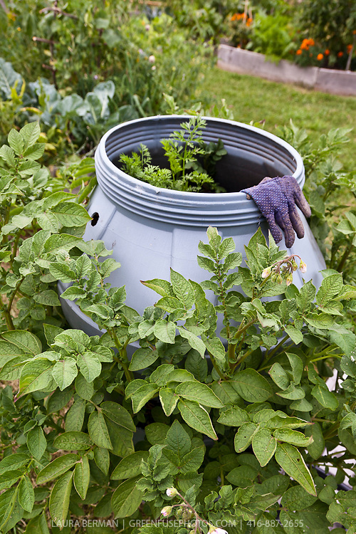 Potato plants growing in a large grey plastic barrel. The potato leaves are emerging from holes cut out of the side of the barrel. Carrots have been planted in the top of the barrel.