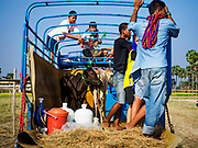 17 FEBRUARY 2018 - BAN LOT, PHETCHABURI, THAILAND:  ox cart races in Ban Lat, a community about three hours south of Bangkok. The ox cart races are almost 100 years old, and date back to the reign of King Rama V. The races are run on a 100 meter long straightaway course.   PHOTO BY JACK KURTZ