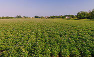 Potato Field, Sagaponack, NY