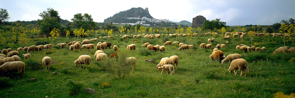 SPAIN, ANDALUSIA ZAHARA; a picturesque 'pueblo blanco' or white village, near Ronda with sheep grazing amongst wildflowers