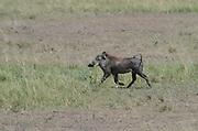 Kenya, Masai Mara, Warthog (Phacochoerus africanus).