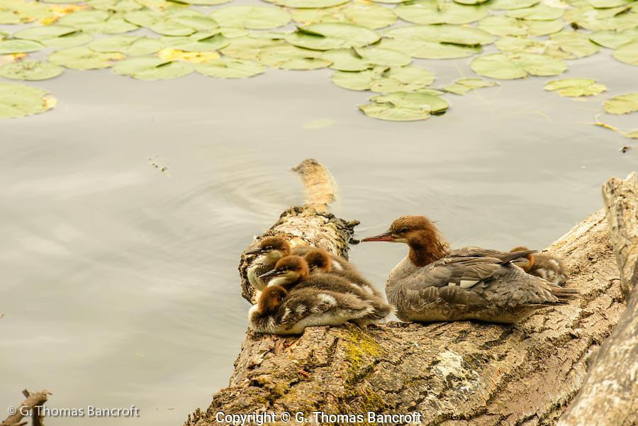 A family of common mergansers rest along the edge of Lake Washington.
