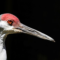 A closeup of the head of a Sandhill Crane, Grus canadensis. Cape May County Zoo, Cape May Courthouse, New Jersey, USA