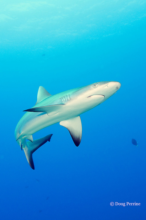 juvenile gray reef shark, Carcharhinus amblyrhynchos, Mahaiula, North Kona, Hawaii (the Big Island),  United States ( Central North Pacific Ocean )