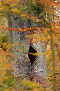 "English oak tree (Quercus robur) ""Kamineiche"" with hole in trunk, in autumn colours. Reinhardswald, Hesse, Germany 