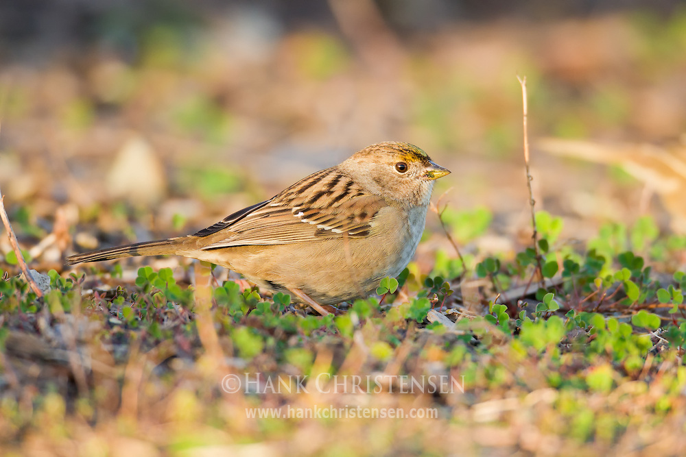 A golden-crowned sparrow stands in short vegetation as it pecks for seeds