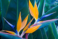 A bird of paradise plant in the Jardim Botanico outside Funchal.<br /> Madeira, Portugal