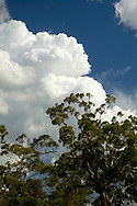 Cumulus storm clouds rolling in over Gum trees.<br /> <br /> Larger JPEG + TIFF images available by contacting use through our contact page at :..www.photography4business.com