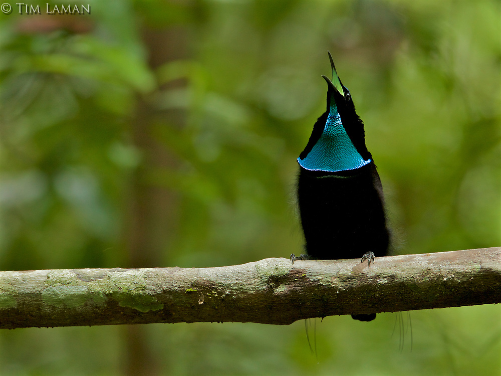 Magnificent Riflebird Bird of Paradise (Ptiloris magnificus) male calling from his display vine.