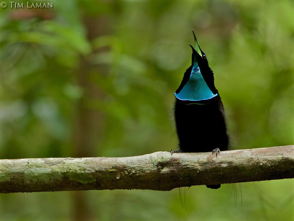 Magnificent Riflebird Bird of Paradise (Ptiloris magnificus) male calling from his display vine.