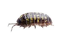 Common Pill Bug (Armadillidium vulgare)<br /> TEXAS: Travis Co.<br /> Brackenridge Field Laboratory<br /> Austin<br /> 2-April-2012<br /> J.C. Abbott &amp; K.K. Abbott