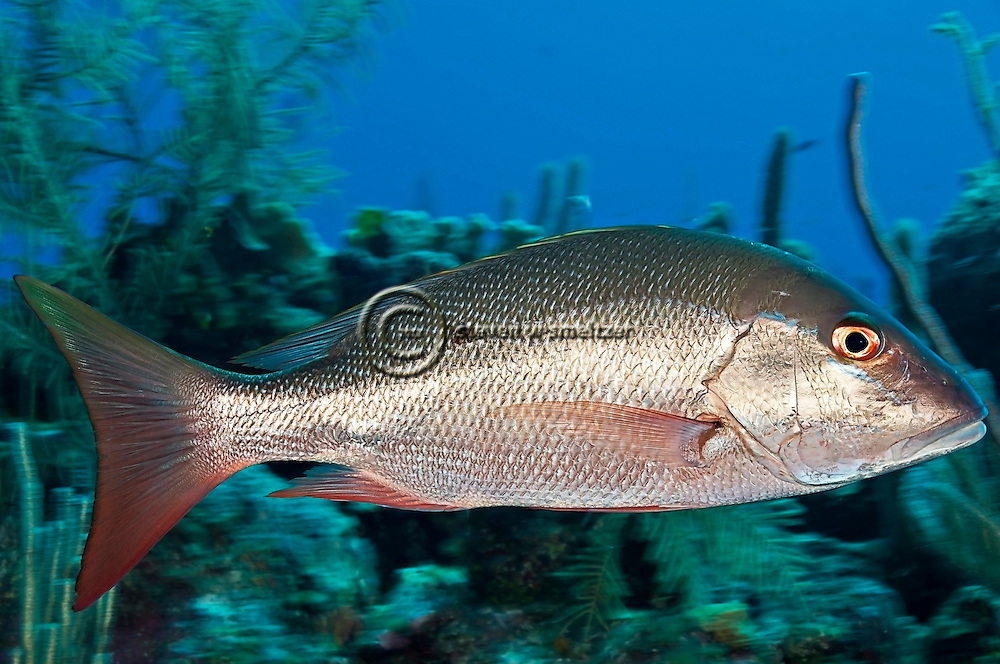 Mutton Snapper, Lutjanus analis, (Cuvier, 1828), Grand Cayman