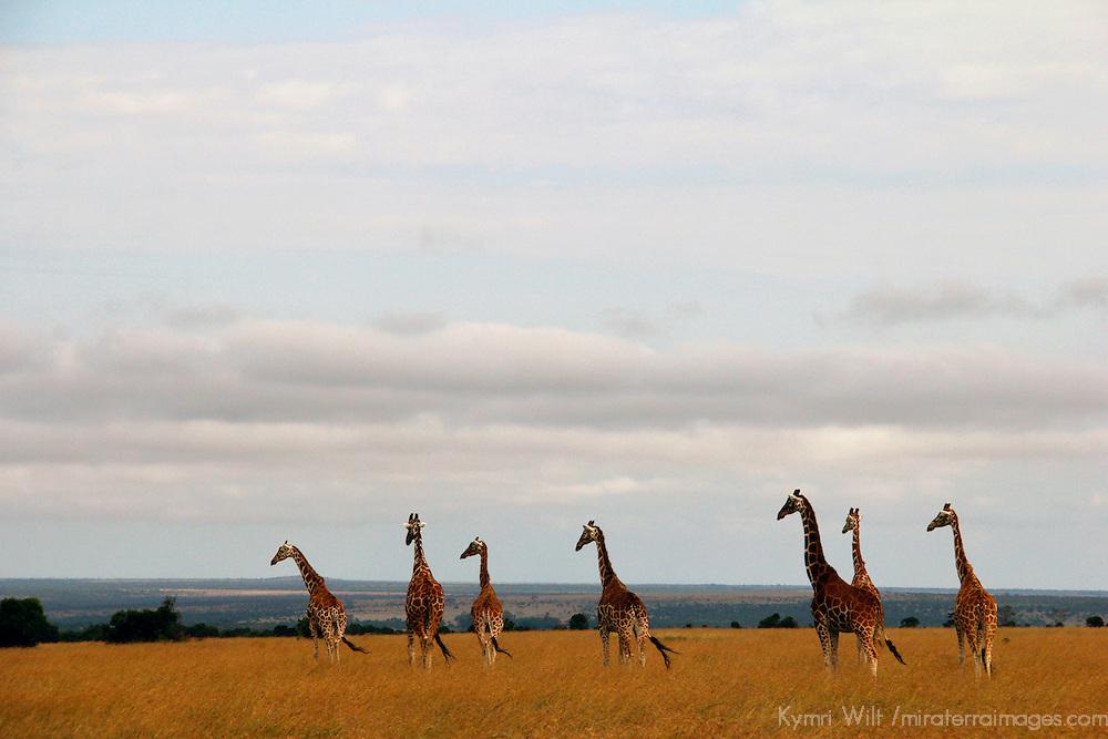 Africa, Kenya, Nanyuki. Reticulated Giraffe of Ol Pejeta Conservancy.