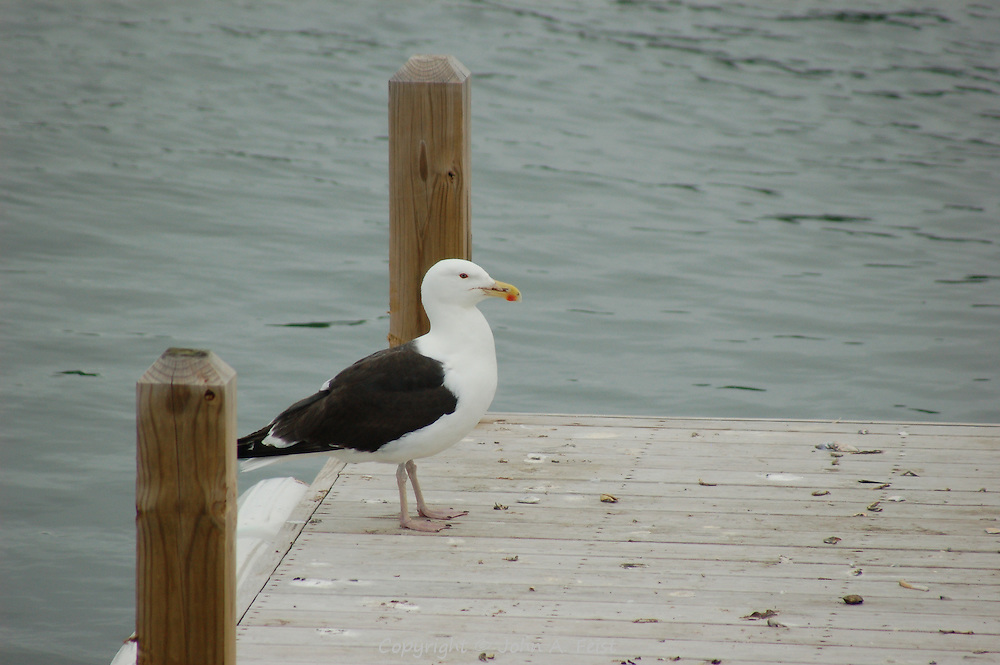 A seagull on the dock in Stone Creek CT