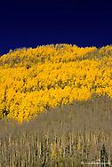 Aspen grove partially changed to autumn colros in the San Juan Mountains in Colorado