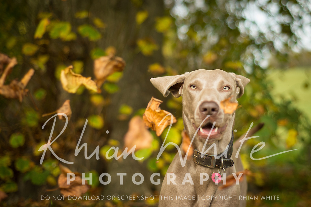Images of Lulu the Weimararner at Stanmer Park, Brighton.