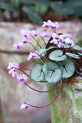 Cyclamen coum Silver Leaf Group