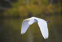 Great Egret (Ardea alba) in flight above Lake Chapala, Chapala, Jocotopec, Jalisco, Mexico