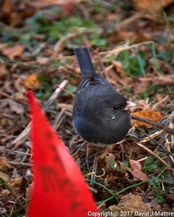 Dark-eyed Slate-colored Junco. Late Autumn Backyard Nature in New Jersey. Image taken with a Fuji X-T2 camera and 100-400 mm OIS lens (ISO 200, 400 mm, f/5.6, 1/100 sec)