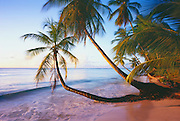 6212-1005C ~ Copyright: George H. H. Huey ~ Pigeon Point with coconut palms [cocos nucifera].  Island of Tobago. Trinidad and Tobago. Caribbean.