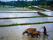 28 JULY 2017 - JATILUWIH, BALI, INDONESIA:  A farmer tills his rice paddy with oxen near Jatiluwih, in central Bali. Rice is the most important crop grown on Bali and is important as a food source and a symbol of Balinese culture.     PHOTO BY JACK KURTZ