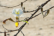 The white flower of a casahuate tree [Ipomoea pauciflora] at Monte Alban, Oaxaca, Mexico.