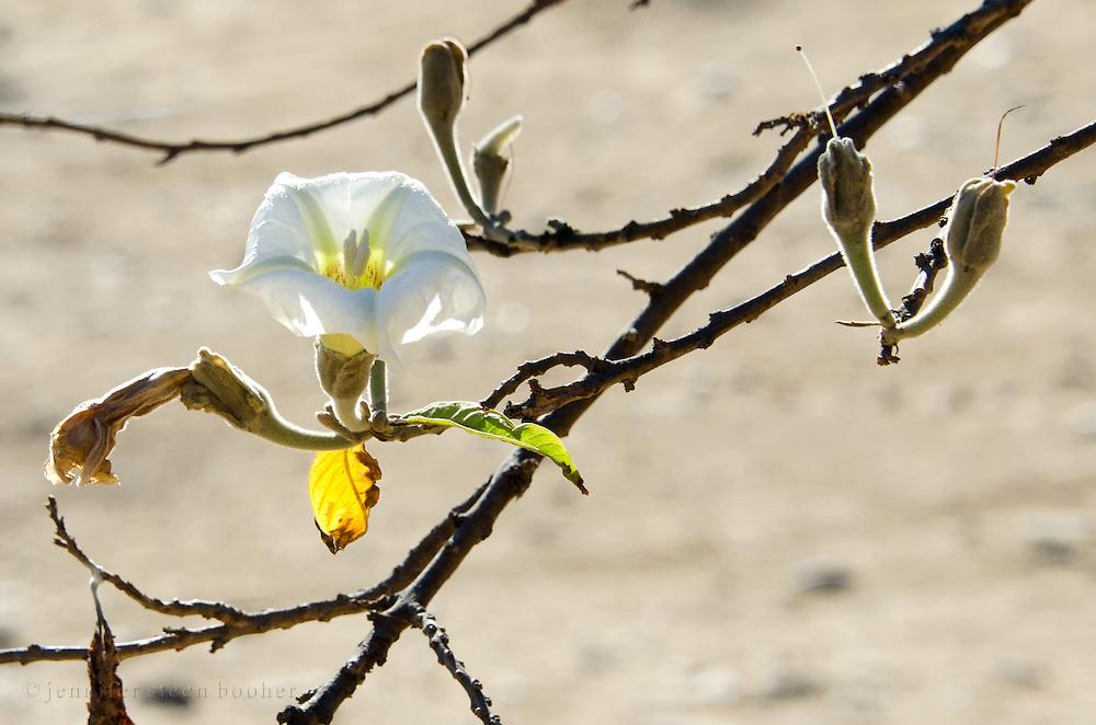 The white flower of a casahuate tree [Ipomoea pauciflora] at Monte Alban, Oaxaca, Mexico.