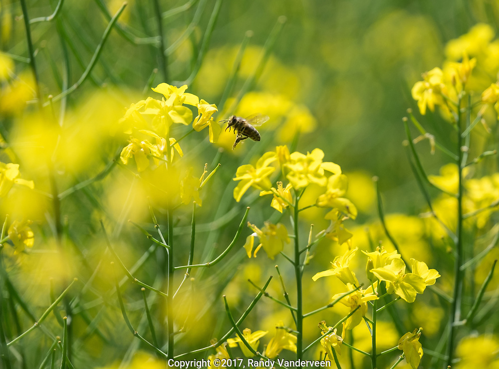 Photo Randy Vanderveen<br /> Lake Saskatoon, Alberta<br /> 2017-08-08<br /> A bee, along with its hive mates, buzz around the canola blooms in a field just north of Cutbank Lake Tuesday afternoon. Many bee keepers set up hives near canola crops for their bees.