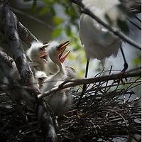 Snowy Egret - Egretta thula -54