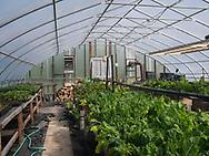 Harmony Farm, Goshen, NY   - green chard
