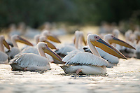 White pelican (Pelecanus onocrotalus) gathering in a small lake of the aquatic komplex Somova-Parches, close to Somova village, upper Danube Delta, Romania.
