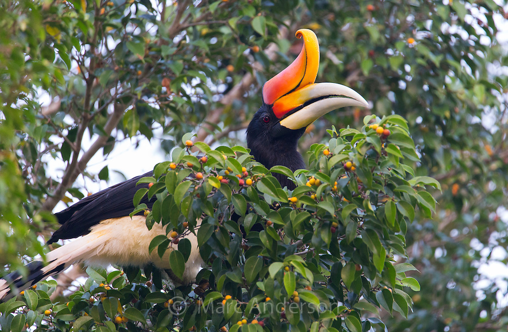 Rhinoceros Hornbill (Buceros rhinoceros) in a fruiting rainforest tree, Taman Negara National Park,  Malaysia