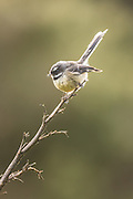 New Zealand Fantail in the forest, Southland