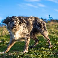 Images of Milo, the Australian Cattle dog, at Devil's Dyke