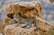 Leopard, Panthera pardus, in Samburu NP, Kenya.