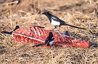 American Magpie (Pica Hudsonia) feeding on carcass of road killed deer, Near Calgary, Alberta, Canada - Photo: Peter Llewellyn