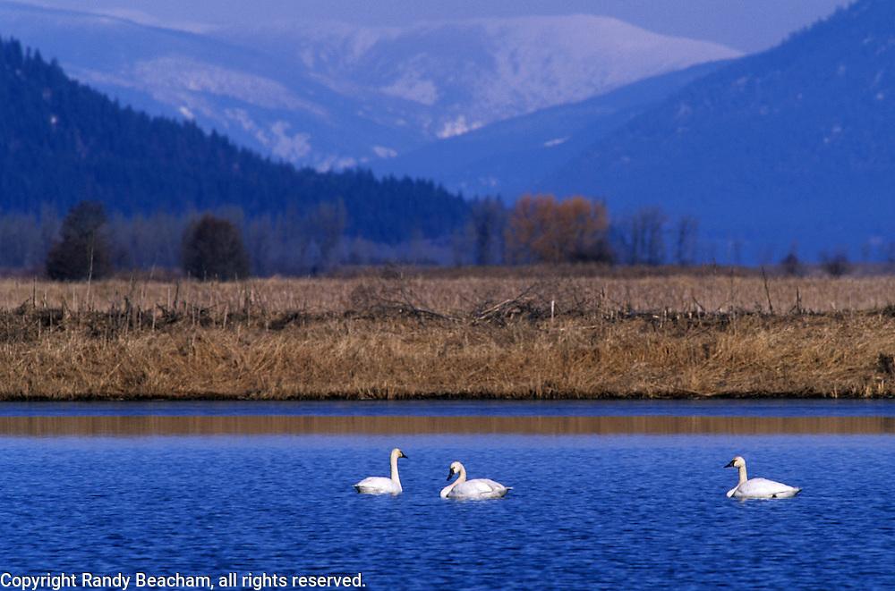 Tundra swans on pond. Kootenai National Wildlife Refuge, Bonners Ferry, North Idaho.