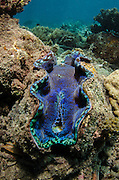 Smooth Giant Clam (Tridacna derasa)<br /> Fiji. South Pacific