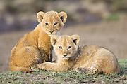 Lion<br /> Panthera leo<br /> 4-5  week old cub(s)<br /> Masai Mara Reserve, Kenya