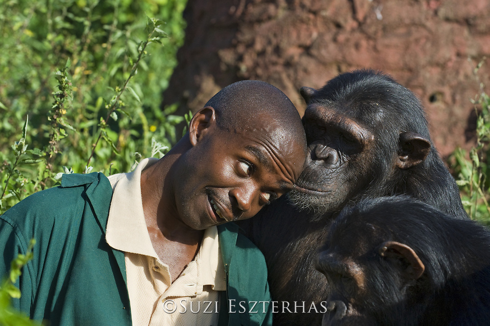 Chimpanzee<br /> Pan troglodytes<br /> Fred Nizeyimana (Veterinarian) playing with rescued chimpanzees<br /> Ngamba Island Chimpanzee Sanctuary<br /> *Model release available - release # MR_006<br /> *Captive