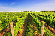Field of Grapes, Vineyard, 7305 Wickham Ave, Mattituck, NY