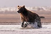USA, Katmai National Park (AK)?Coastal brown bear (Ursus arctos) in pursuit of salmon