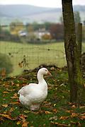 Goose, Ulster Folk Park, Northern Ireland, UK