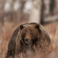 grizzly bear mature boar sping