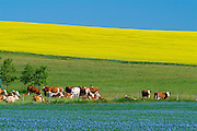 Cattle Canola and flax<br />