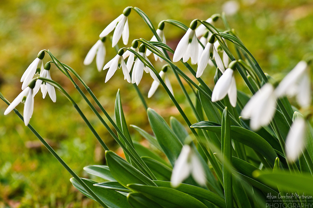 Galanthus Plicatus Snowdrops in bloom at the National Botanical Garden of Belgium, in Meise.