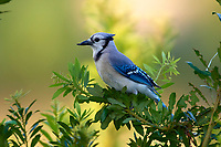 Blue Jay (Cyanocitta cristata), with deformed beak Green Cay Nature Area, Delray Bea   Photo: Peter Llewellyn