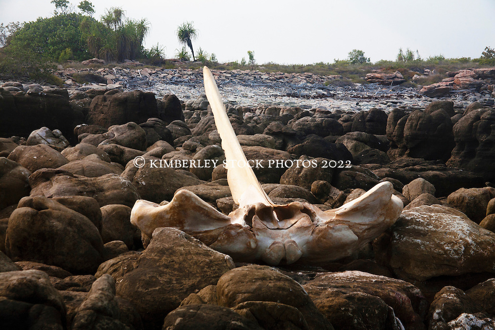 A humpback whale pelvis washed up at Hall Point in Deception Bay.