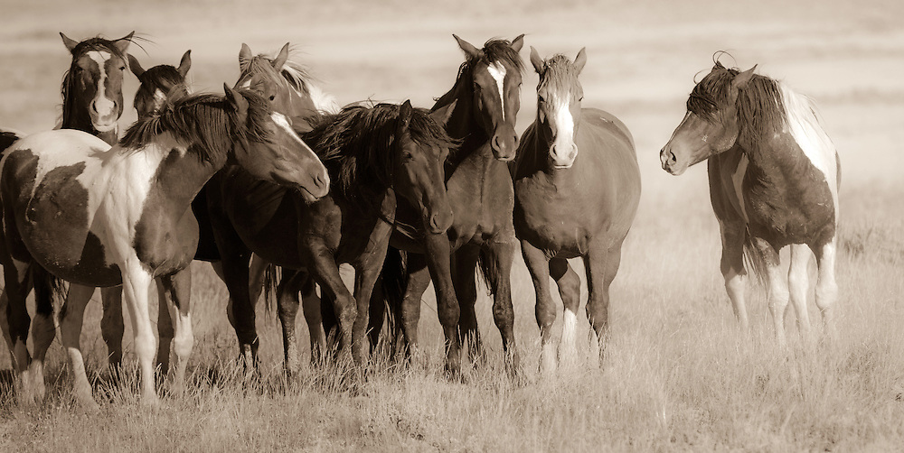 A band stallion, confronts his mares and a roving bachelor at McCullough Peaks Herd Management Area.