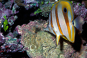 Copperband Butterflyfish, Chelmon rostratus, aiming for an Aiptasia anemone on which it feeds.